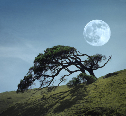 Single Tree「Windswept live oak tree and rising full moon at night」:スマホ壁紙(15)