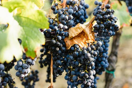 Wine「トスカーナ州、イタリアの赤いブドウの房」:スマホ壁紙(18)