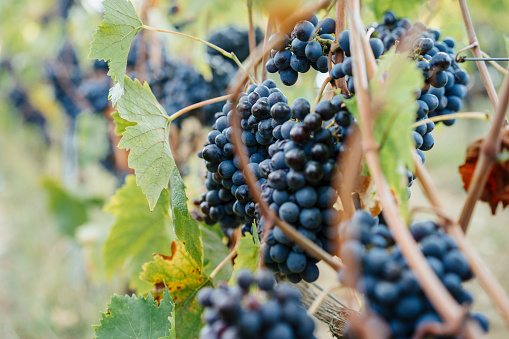 Wine「トスカーナ州、イタリアの赤いブドウの房」:スマホ壁紙(17)