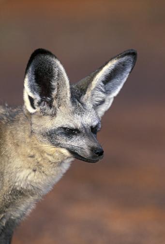 Animal Ear「Bat-eared fox, Otocyon megalotis, nocturnal in summer diurnal in winter. Kalahari, southern & East Africa」:スマホ壁紙(9)