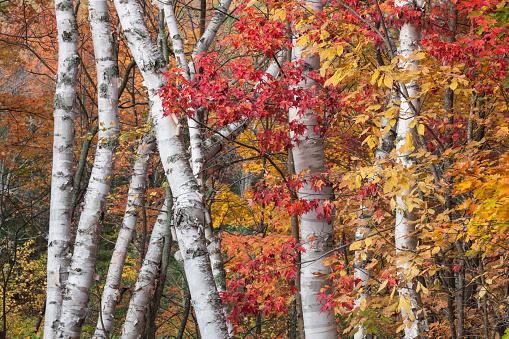 サトウカエデ「The low contrast light of an overcast day bring out the vivid autumn colors of maple and birch trees, Baxter State Park, Maine, USA.」:スマホ壁紙(11)