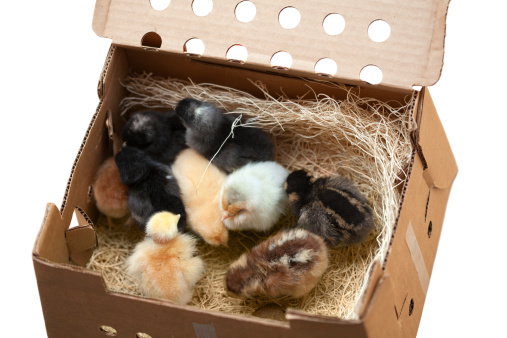 Rhode Island Red Chicken「Mail Order Chicks」:スマホ壁紙(12)