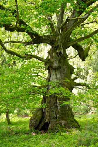 Oak Woodland「old oak with in may」:スマホ壁紙(8)