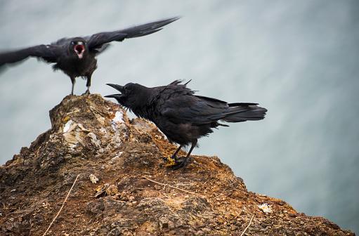 Cannon Beach「American Crows (Corvus Brachyrhynchos) Express Emotions」:スマホ壁紙(4)