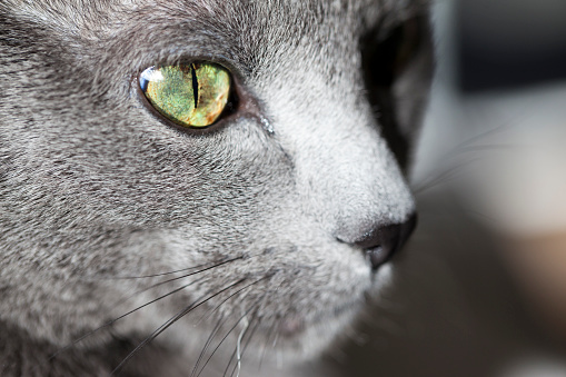 Iris - Eye「Face of grey cat, close-up」:スマホ壁紙(17)