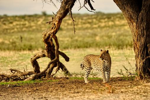 Kalahari Desert「Female African leopard on the hunt」:スマホ壁紙(15)