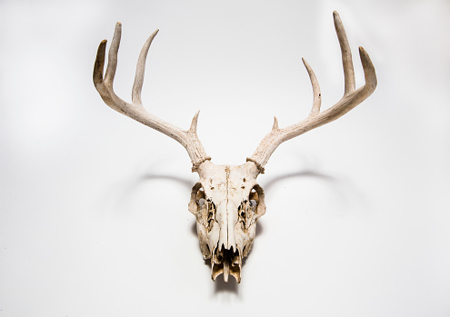 Horned「Deer skull hanging on white wall, Colorado, United States」:スマホ壁紙(14)