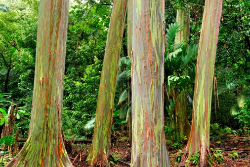 エデンの園「レインボーユーカリの木」:スマホ壁紙(11)