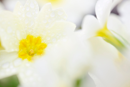 February「Wild Primrose Close-Up Abstract with Dewdrops on Flower Petals」:スマホ壁紙(19)