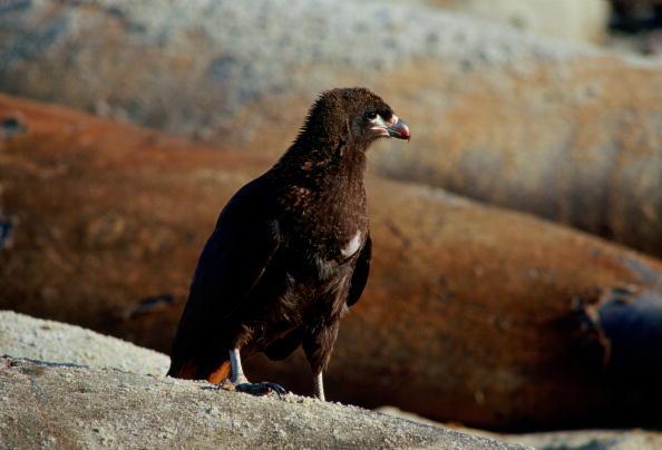 Animals Hunting「Striated Caracara Bird, Falklands」:写真・画像(11)[壁紙.com]