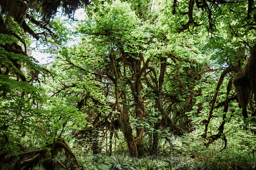 Olympic Rainforest「Moss Covered Trees and Canopy」:スマホ壁紙(3)