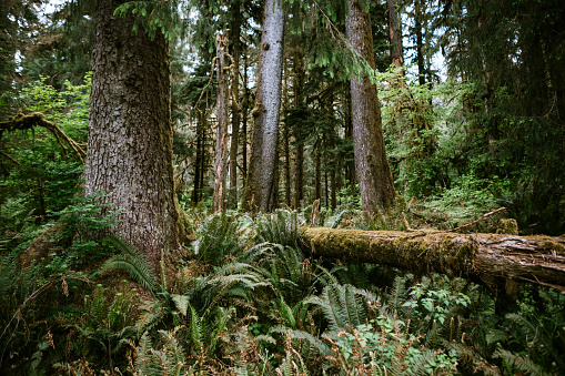 Olympic Rainforest「Moss Covered Trees and Old Growth Forest」:スマホ壁紙(4)