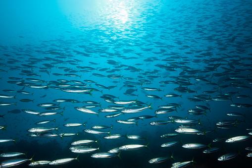 Arafura Sea「Shoal of Deep-bodied Round Scad, Indonesia」:スマホ壁紙(4)
