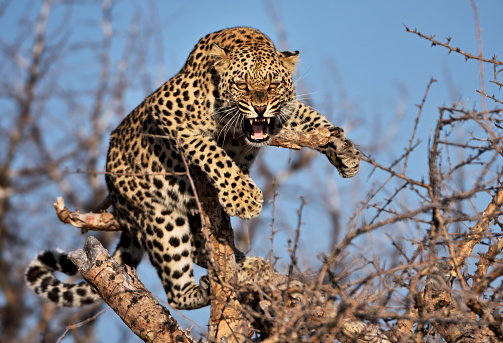 Animals Hunting「hissing leopard on a tree in namibia」:スマホ壁紙(4)
