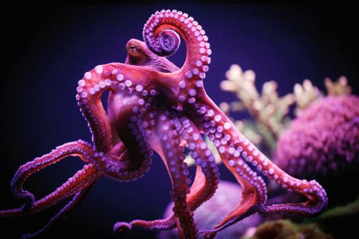サンゴ「Octopus」:スマホ壁紙(14)