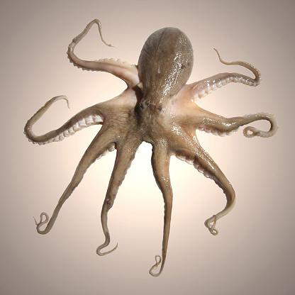 円形「octopus」:スマホ壁紙(6)