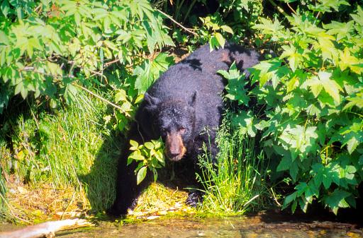 Salmon River  Alaska「Wild Black Bear looking for fish on the shore of the  Salmon River, Near the village of Hyder - Alaska, not far from Canadian Border」:スマホ壁紙(4)