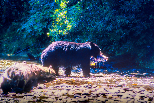 Salmon River  Alaska「Wild Black Bear catching Salmon (fish in the Mouth, blood dripping) in the Salmon River, Near the village of Hyder - Alaska, not far from Canadian Border」:スマホ壁紙(6)