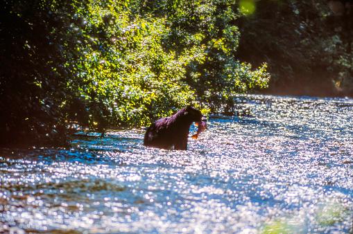 Salmon River  Alaska「Wild Black Bear catching Salmon (fish in the Mouth) in the Salmon River, Near the village of Hyder - Alaska, not far from Canadian Border」:スマホ壁紙(13)
