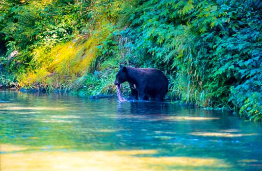 Salmon River  Alaska「Wild Black Bear catching Salmon (fish in the Mouth) in the Salmon River, Near the village of Hyder - Alaska, not far from Canadian Border」:スマホ壁紙(12)