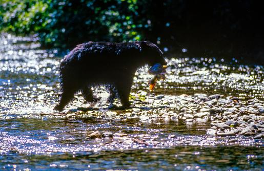 Salmon River  Alaska「Wild Black Bear catching Salmon (fish in the Mouth) in the Salmon River, Near the village of Hyder - Alaska, not far from Canadian Border」:スマホ壁紙(5)
