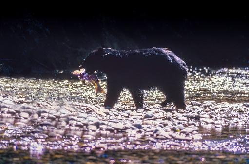 Salmon River  Alaska「Wild Black Bear catching Salmon (fish in the Mouth) in the Salmon River, Near the village of Hyder - Alaska, not far from Canadian Border」:スマホ壁紙(10)