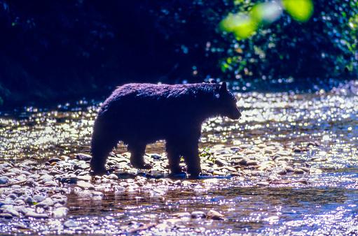 Salmon River  Alaska「Wild Black Bear Crossing the Salmon River, Near the village of Hyder - Alaska, not far from Canadian Border」:スマホ壁紙(8)