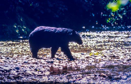 Salmon River  Alaska「Wild Black Bear Crossing the Salmon River, Near the village of Hyder - Alaska, not far from Canadian Border」:スマホ壁紙(11)