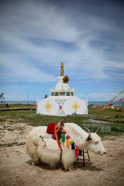 Wild Cattle「Qinghai Lake Scenery」:写真・画像(1)[壁紙.com]