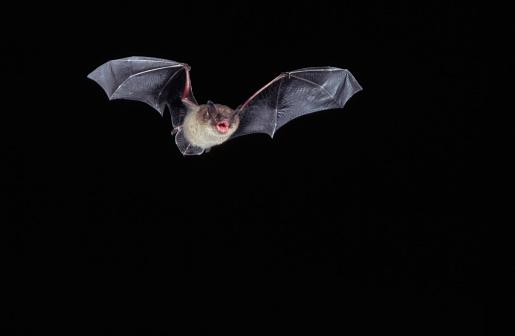 bat「Little Brown Bat in Flight」:スマホ壁紙(5)