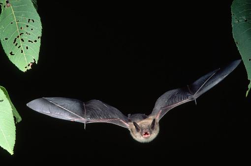 bat「Little Brown Bat in Flight」:スマホ壁紙(16)