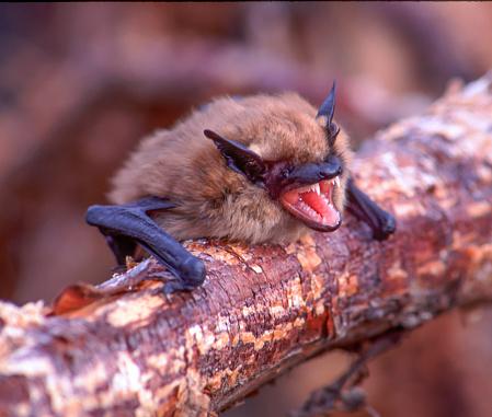 Threats「Little brown bat showing teeth」:スマホ壁紙(5)
