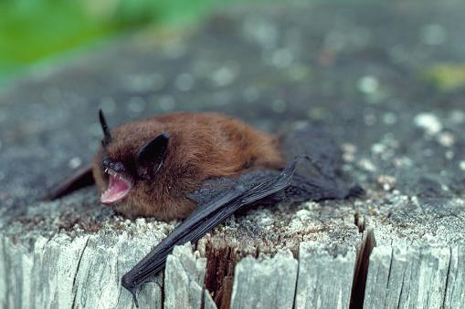 1980-1989「Little Brown Bat」:スマホ壁紙(9)