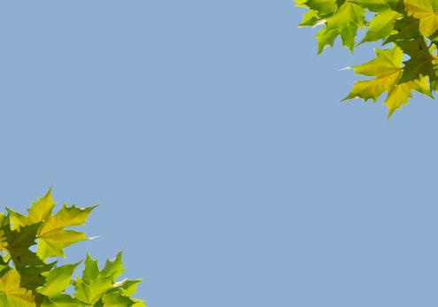 セイヨウカジカエデ「Background with plane leaves」:スマホ壁紙(17)