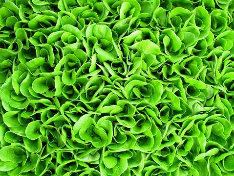 Salad「Background of green lettuce seedlings」:スマホ壁紙(10)