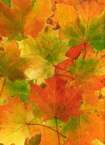 セイヨウカジカエデ「マルチカラーの秋の葉のバックグラウンド」:スマホ壁紙(18)