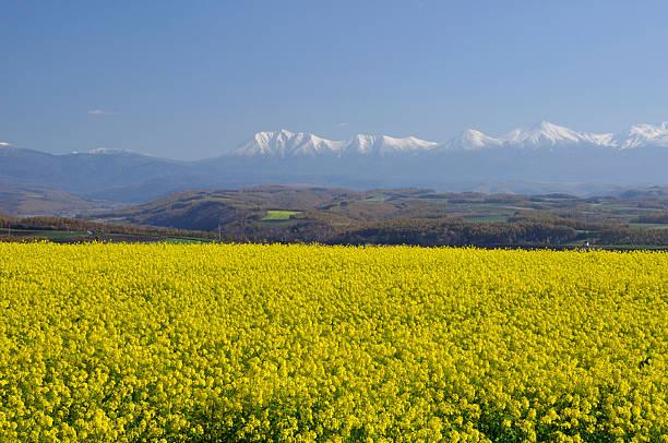 Mt. Daisetsu and oilseed rape field, Hokkaido Prefecture, Japan:スマホ壁紙(壁紙.com)