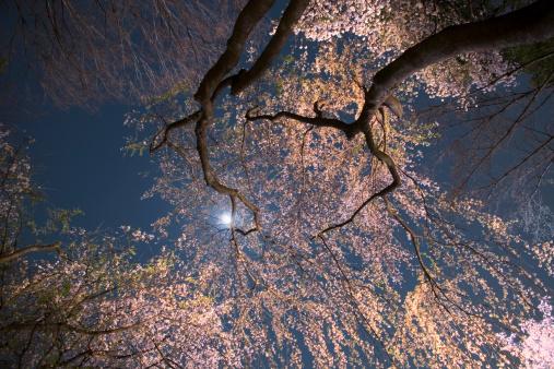 夜桜「Moon over cherry blossoms, low angle view」:スマホ壁紙(4)