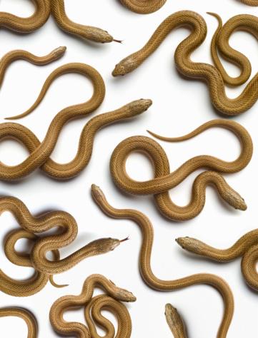 Large Group Of Animals「Brown snakes (Storeria Dekayi) overhead view」:スマホ壁紙(18)