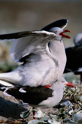 Falkland Islands「Mating Dolphin Gulls」:スマホ壁紙(14)
