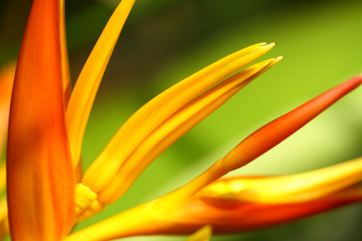 Heliconia「Heliconia flower in macro」:スマホ壁紙(5)