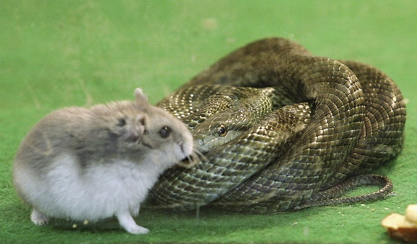 動物「Hamster And Snake Form A Friendship At Tokyo Zoo」:写真・画像(3)[壁紙.com]