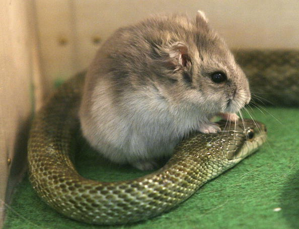動物「Hamster And Snake Form A Friendship At Tokyo Zoo」:写真・画像(2)[壁紙.com]