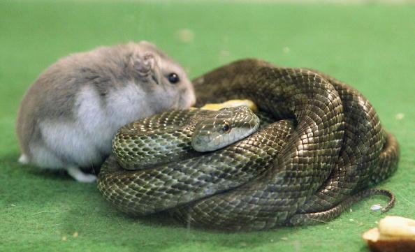 動物「Hamster And Snake Form A Friendship At Tokyo Zoo」:写真・画像(19)[壁紙.com]