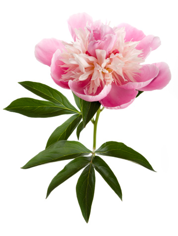 Peony「Pink peony on white background (Paeonia lactiflora)」:スマホ壁紙(4)