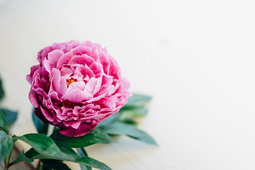 Peony「Pink peony」:スマホ壁紙(17)