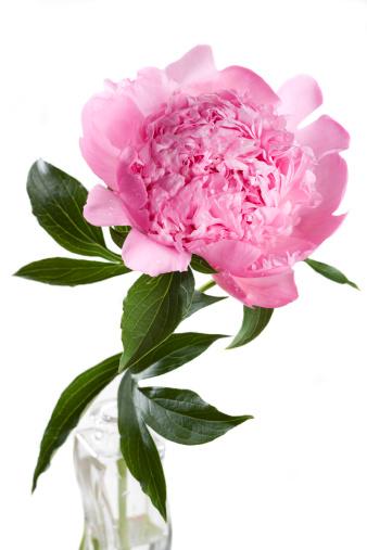 一輪の花「ピンクの牡丹'Mons ます。ジュール Elie'(Paeonia lactiflora」:スマホ壁紙(11)