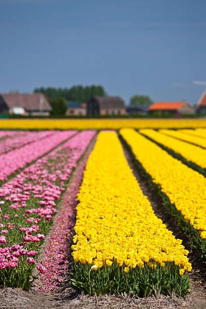 field with yellow and purple tulips:スマホ壁紙(壁紙.com)