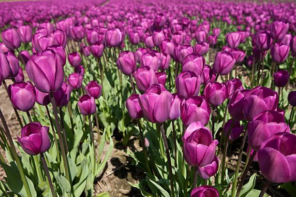 field with purple tulips:スマホ壁紙(壁紙.com)