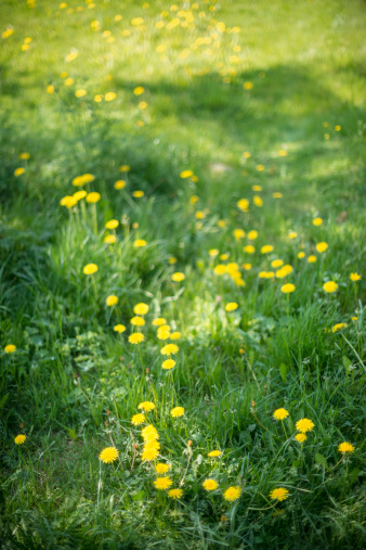 Uncultivated「Field with dandelions」:スマホ壁紙(6)